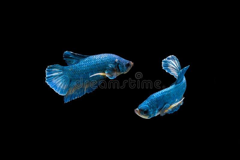Siamese het Vechten Vissen op zwarte bacground Thaise ` s betta worden geïsoleerd i die royalty-vrije stock foto's