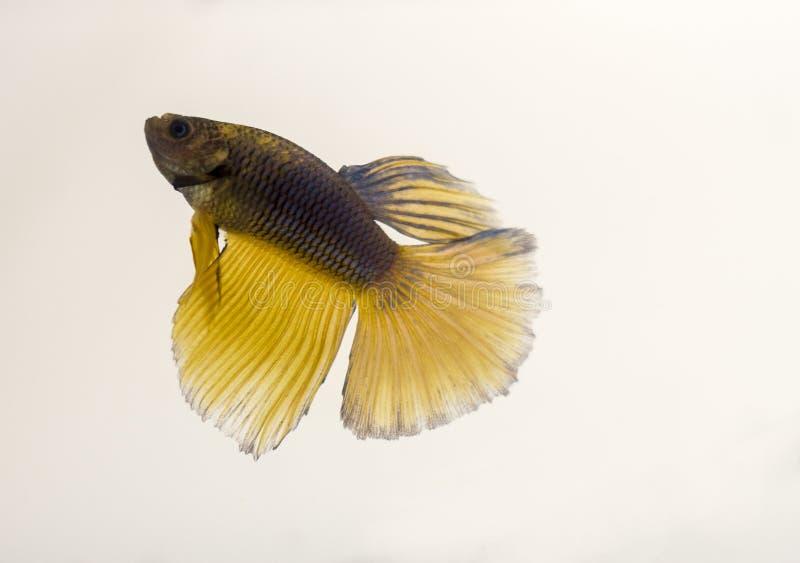 Siamese het Vechten Vissen Zwarte Gele Halvemaan Betta Splendens stock afbeelding