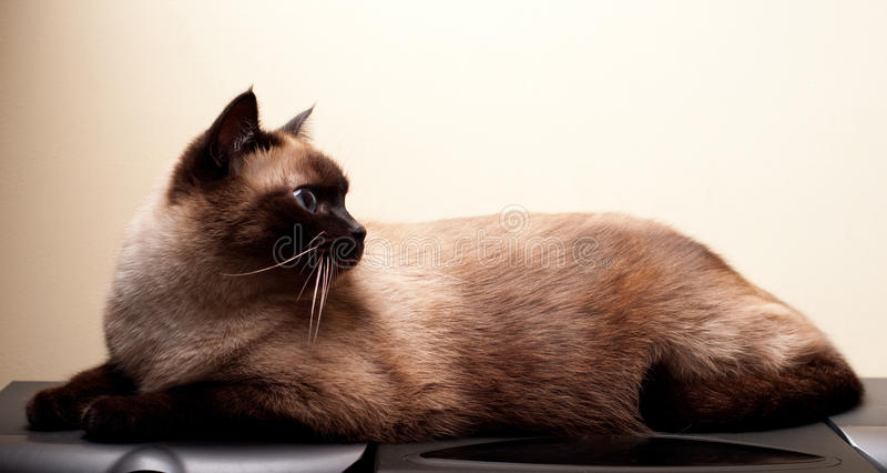 Siamese Kat royalty-vrije stock afbeelding