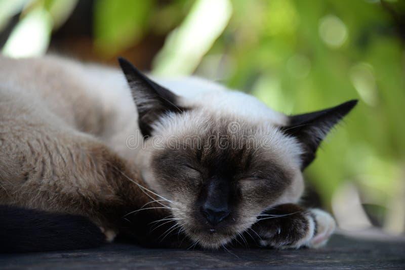 Siamese kat die op de vloer rusten Slaperige de Kat van Thailand stock foto's