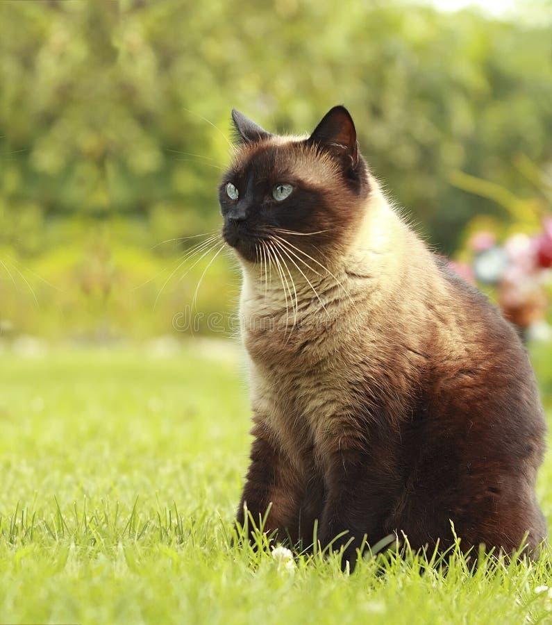 Siamese kat in gras stock foto's