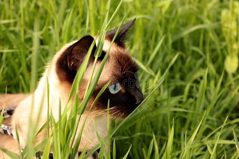 Siamese kat jaagt in het gras stock foto's