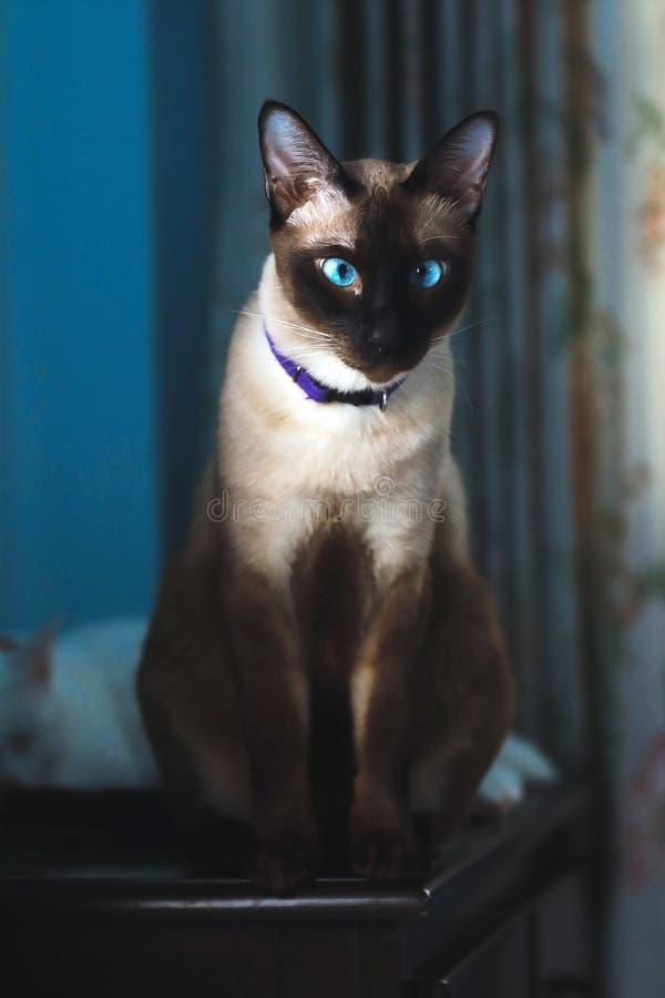Siamese kat met blauwe ogen stock afbeelding
