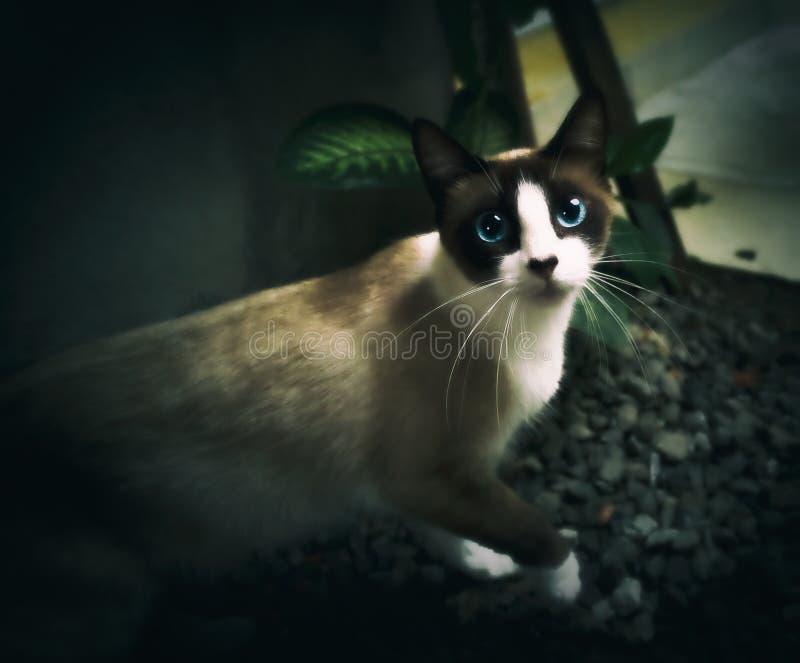 Siamese kat met mooie blauwe ogen stock foto's