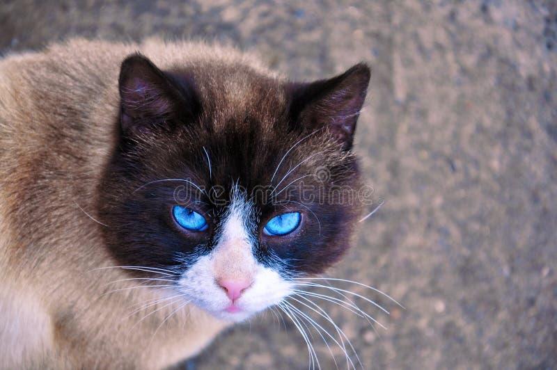 Siamese kat met mooie blauwe ogen en een wijze blik royalty-vrije stock foto's
