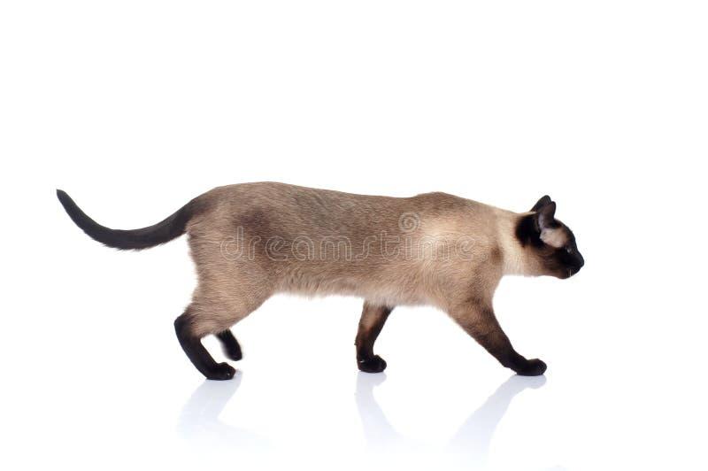 Siamese kat op een witte achtergrond royalty-vrije stock afbeeldingen