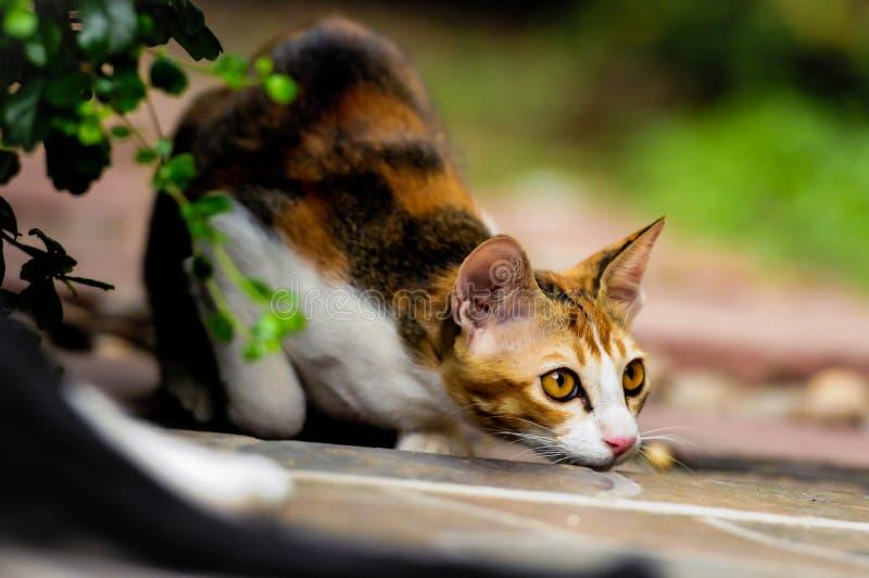 Siamese kat in Thailand royalty-vrije stock afbeelding