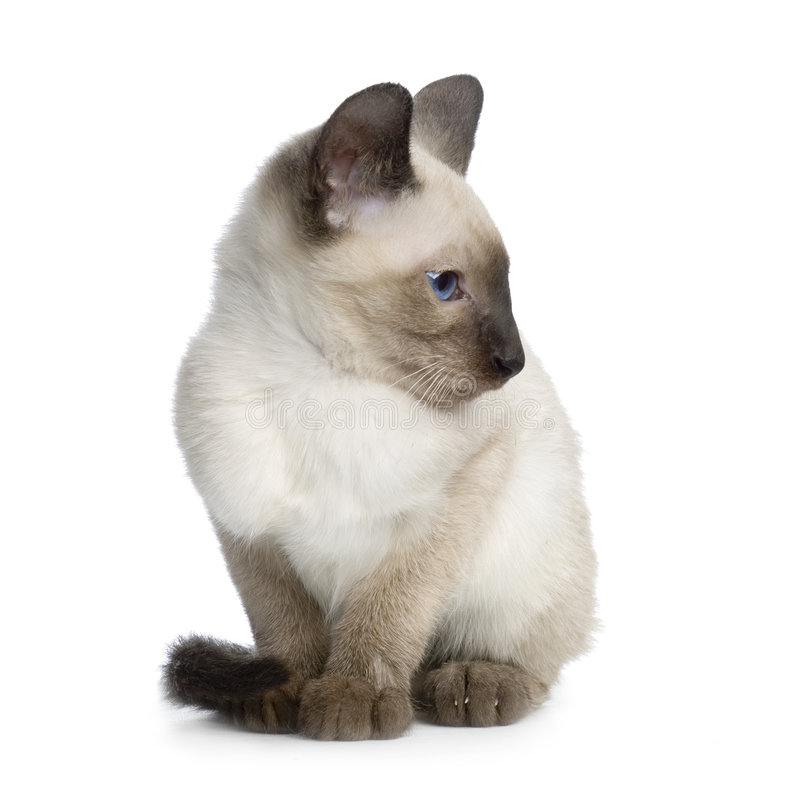 Siamese katje stock afbeelding