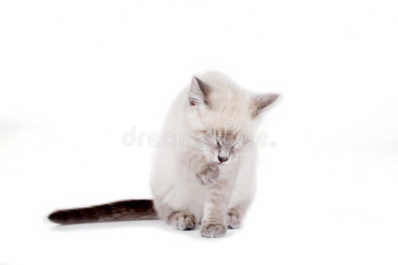 Siamese katje dat poot likt royalty-vrije stock afbeeldingen