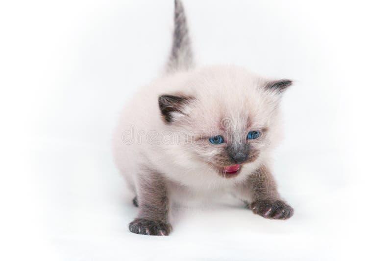Siamese katje die met blauwe ogen op camera op witte achtergrond mauwen Geïsoleerdj op witte achtergrond royalty-vrije stock fotografie