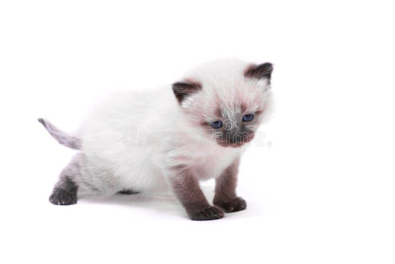 Siamese katje met blauwe ogen kijkt neer op witte achtergrond Geïsoleerdj op witte achtergrond royalty-vrije stock afbeelding