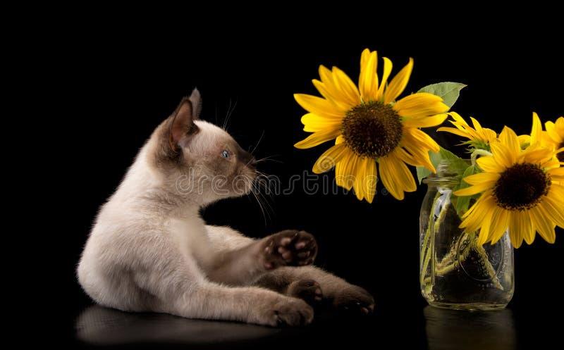 Siamese katje ongeveer aan mep bij een zonnebloem stock foto's
