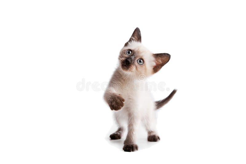 Siamese katje op wit stock foto's