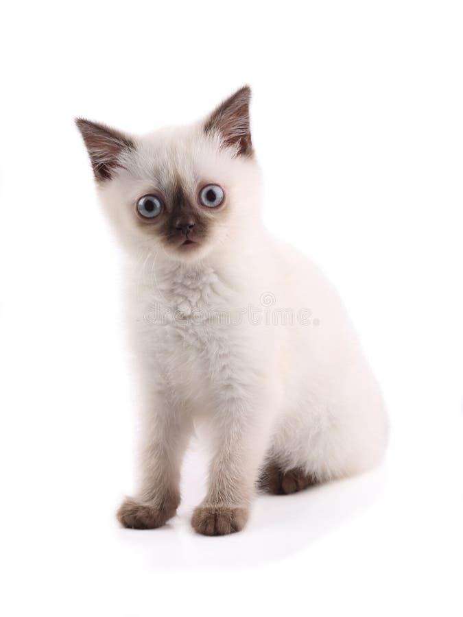Siamese katje op wit wordt ge?soleerd dat royalty-vrije stock fotografie