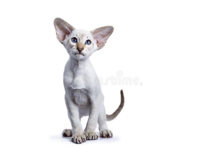 Siamese katje op witte achtergrond wordt geïsoleerd die royalty-vrije stock foto