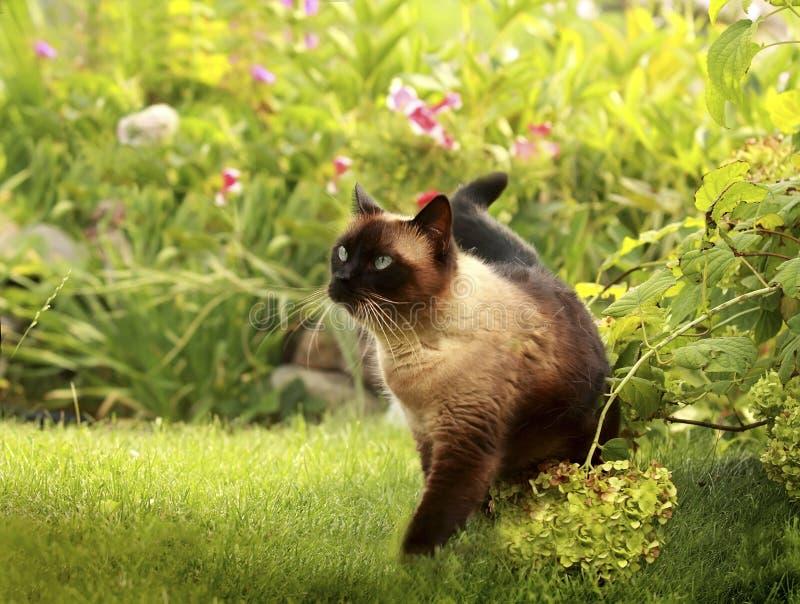 Siamese katt i ett grönt gräs royaltyfria foton
