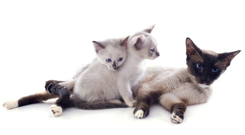 Siamese katt och kattunge arkivfoto