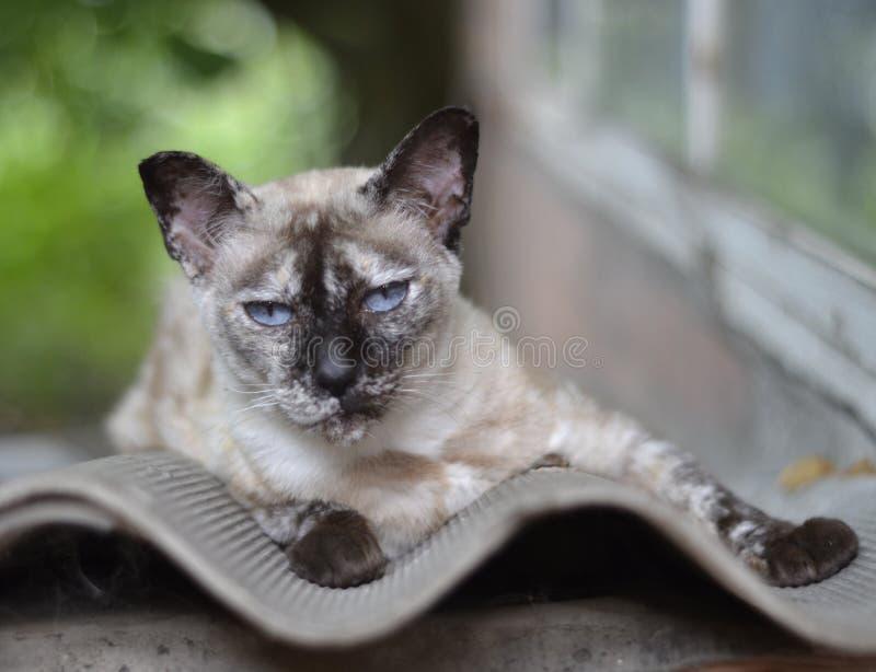 Siamese katt som ligger på en väggbakgrund arkivfoton