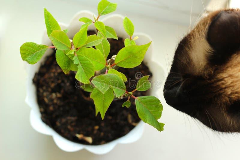Siamese katt som luktar blomman ovanf?r sikt fotografering för bildbyråer