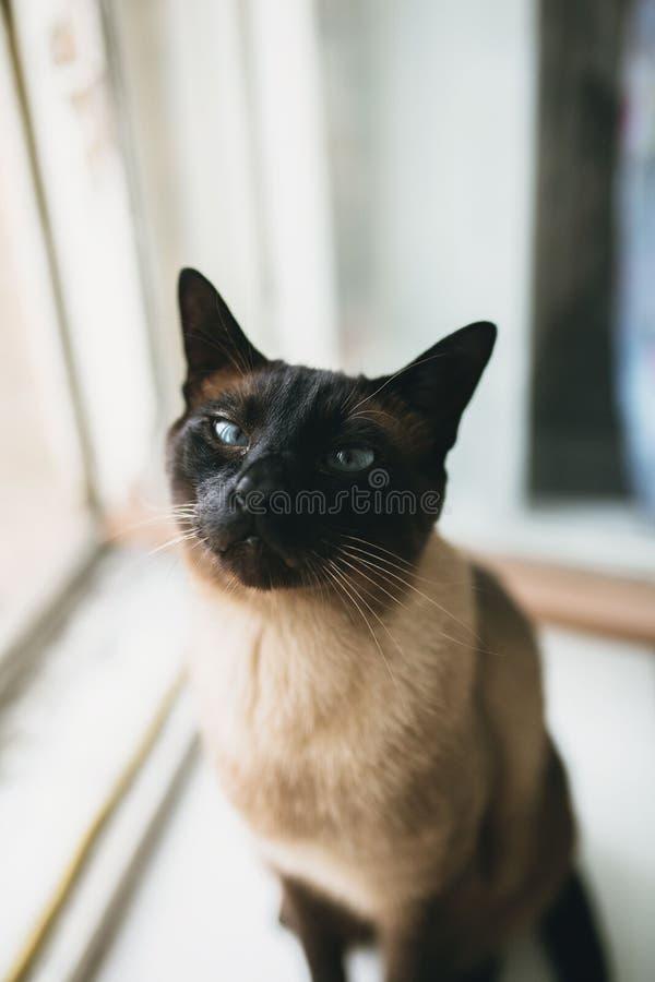Siamese katt som sitter bara vid fönstret arkivbilder