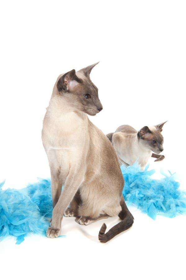 Siamese katten royalty-vrije stock foto