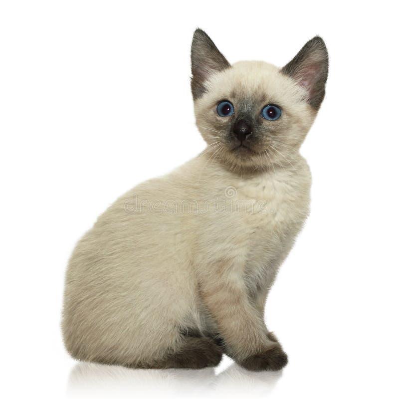 siamese kattunge royaltyfria bilder