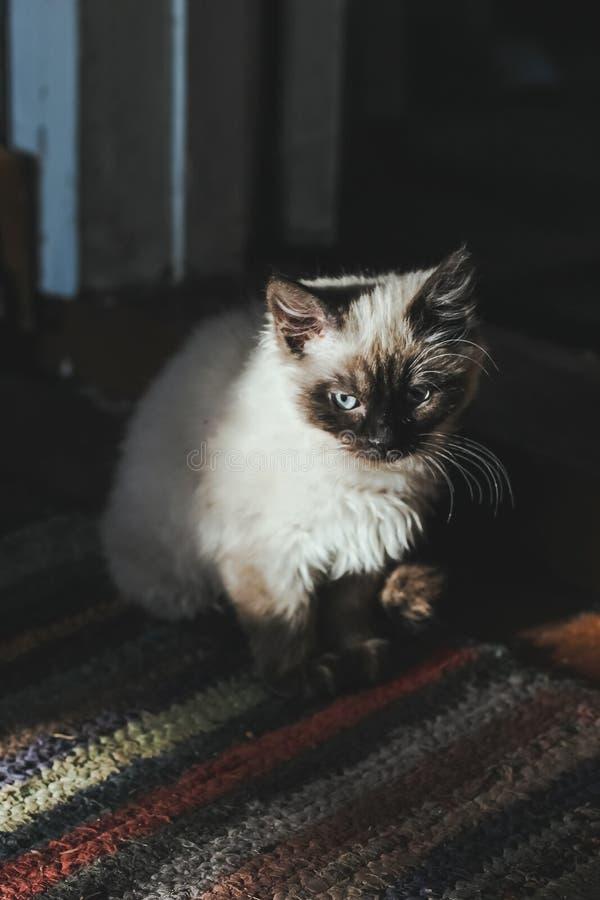 Siamese kattunge för Ð-¡ ute med blåa ögon i solljuset arkivfoton
