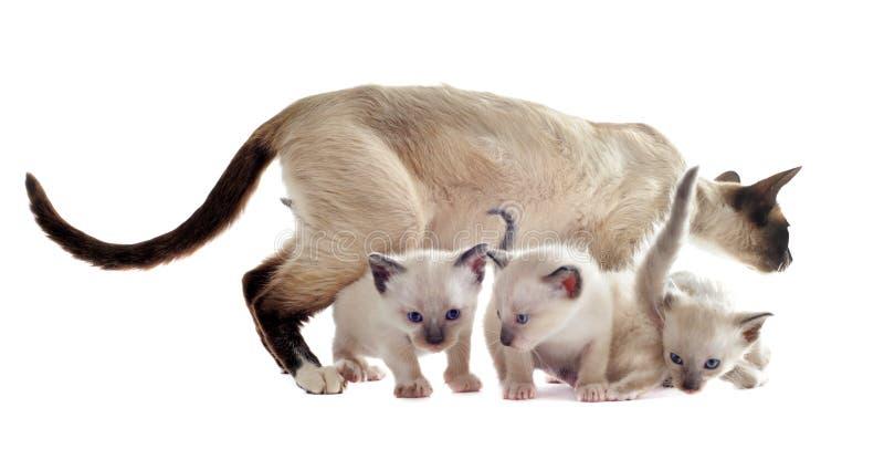 Siamese kattunge och moder arkivbild