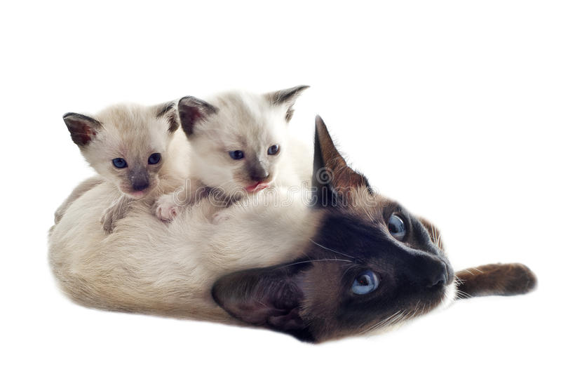 Siamese kattunge och moder arkivfoto