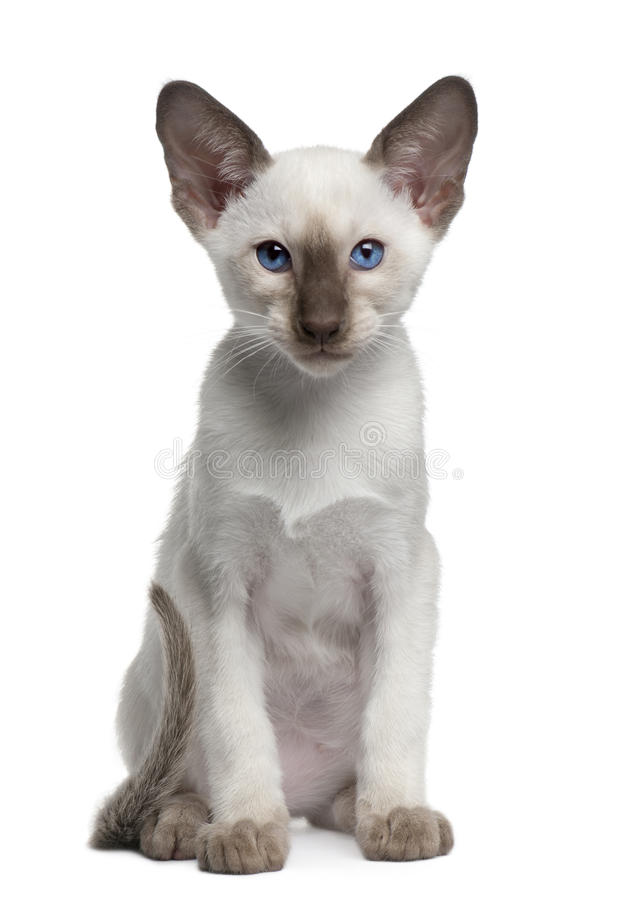 Siamese kitten, 10 weeks old, sitting royalty free stock photos