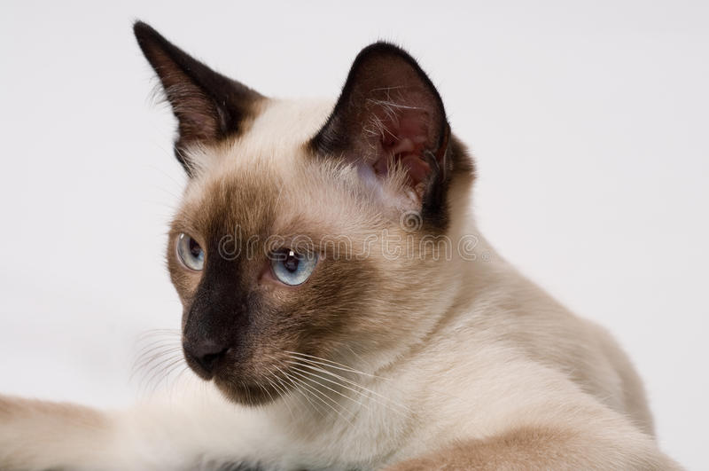 Download Siamese kitten. stock image. Image of house, eyes, animal - 10211071