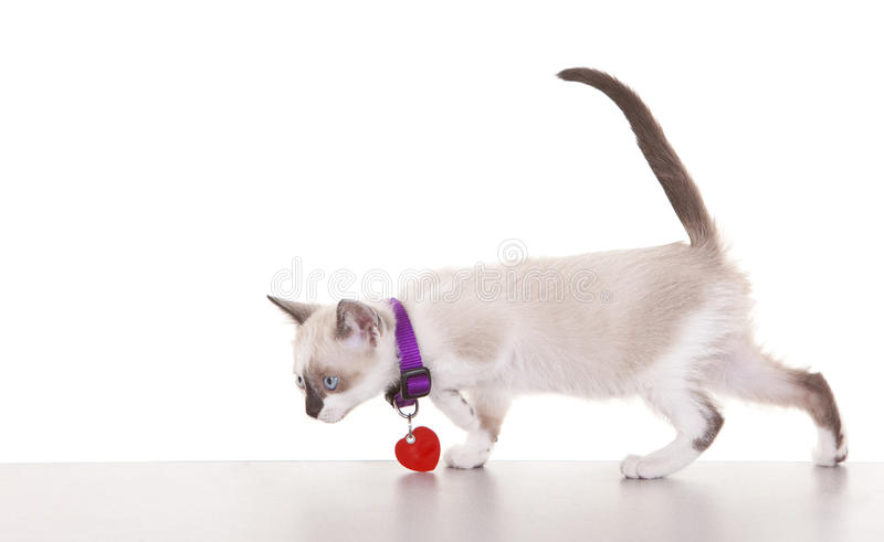 Download Siamese Kitten stock photo. Image of animal, siamese - 16624692