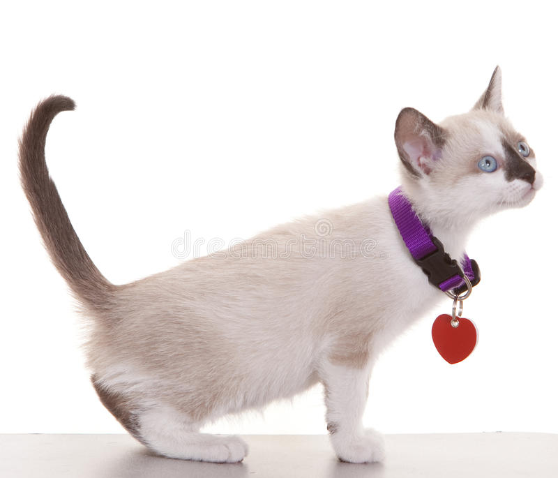 Siamese Kitten. Young siamese kitten wearing collar and tag on a white background stock photography