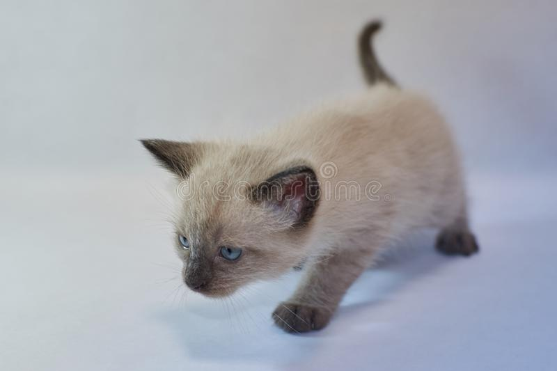 Siamese kitten blue almond shaped eyes royalty free stock images