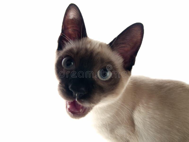 Siamese kitten crying royalty free stock image