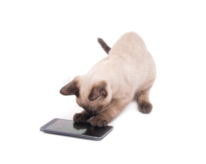 Siamese kitten digging at a smart phone royalty free stock photo