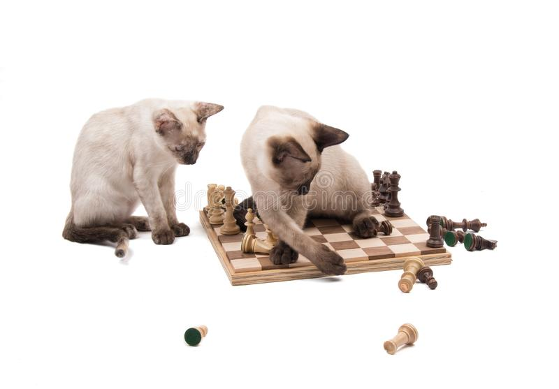 Siamese kitten knocking chess pieces down while another one is watching. On white background stock photography