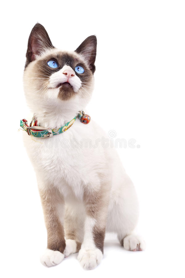 Download Siamese kitten looking up stock photo. Image of furry - 14622162