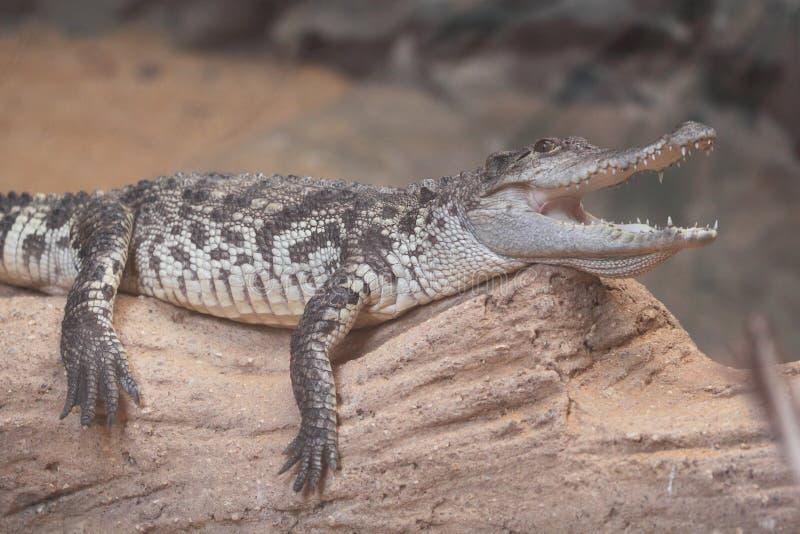 Siamese krokodil stock afbeelding