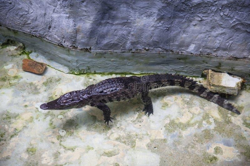Siamese Krokodil bij Dusit-Dierentuin, Bangkok Thailand royalty-vrije stock foto's