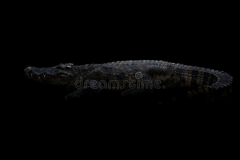 Siamese krokodil i mörkret arkivfoton