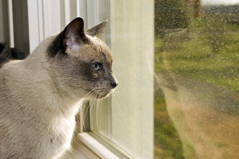 Download Siamese Looking Out stock photo. Image of thinking, sunshine - 4962256