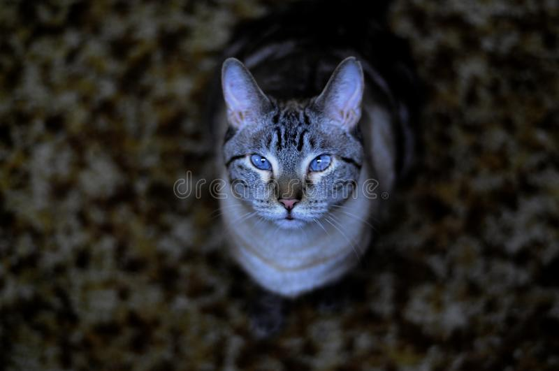 Siamese lynx-point cat stock images