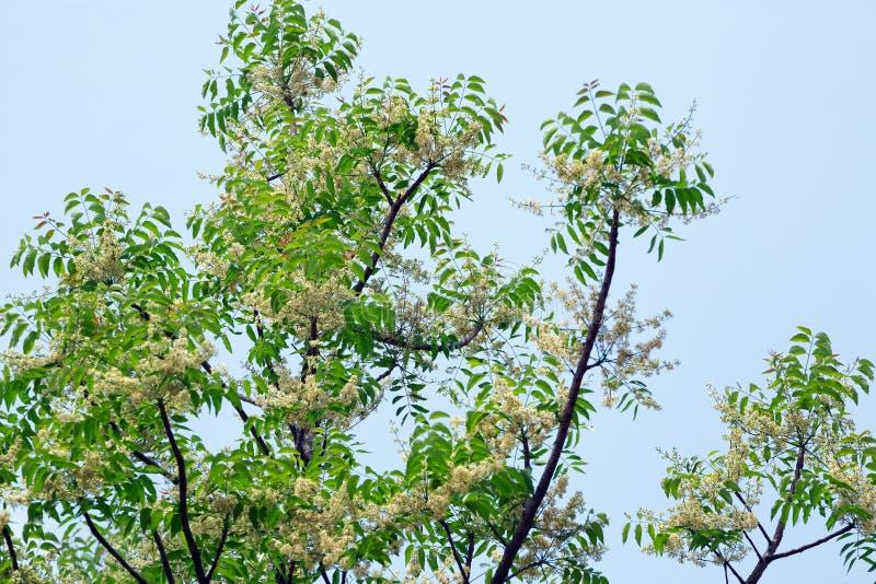 Siamese neemträd, heligt träd, indiskt margosaträd royaltyfri foto