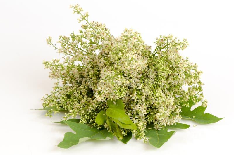 Siamese neemträd, Nim, Margosa, kinin (azadirachtaen indica A Juss var Siamensis Valeton) royaltyfria foton