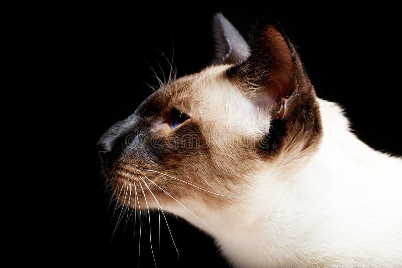 Siamese oosterse blauw-eyed kat stock fotografie