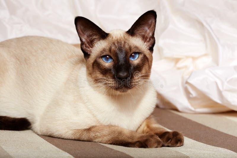 Siamese orientalisk katt royaltyfri bild