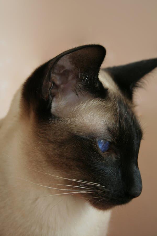 Siamese punt van de kattenverbinding royalty-vrije stock foto's