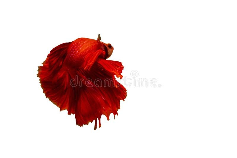 Siamese red fighting fish or betta fish isolated on white  background with clipping path and copy space.  stock images