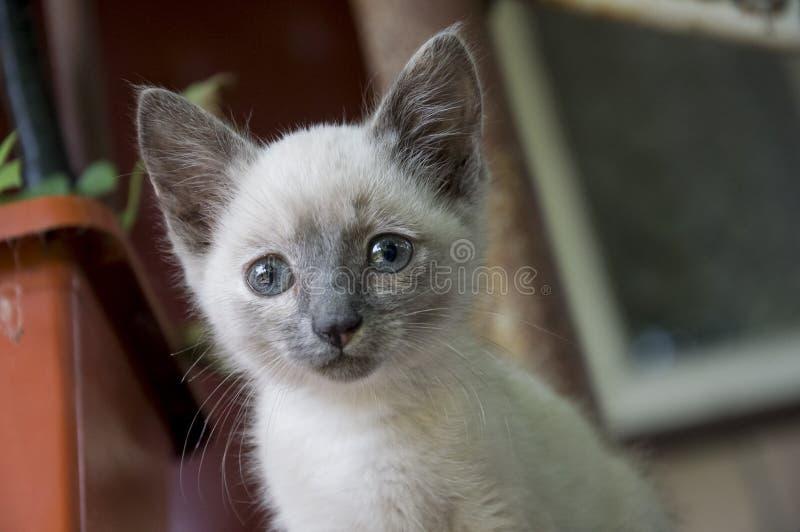 Siamese Shorthair cat is walking on the asphalt. Blue eyed little domestic kitten. Village pet. Creamy fur. Grey background.  stock image